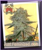 Sin City Seeds PowerNap Feminized Cannabis Strain for sale